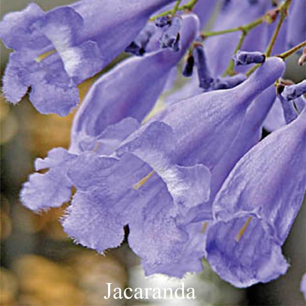 Jacaranda (Love Remedies)