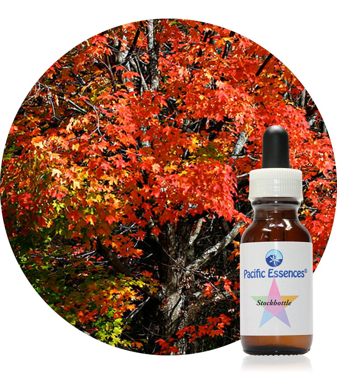 Maple 25 ml