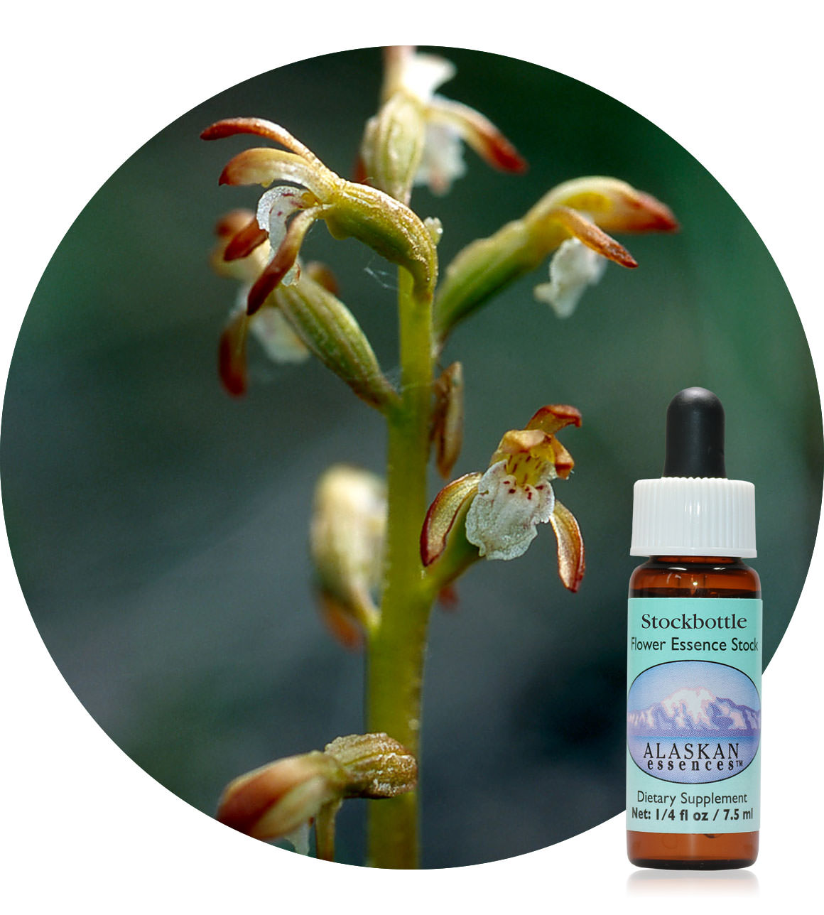 Northern Coral Root (F) 7,5 ml