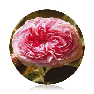 Rose Essences