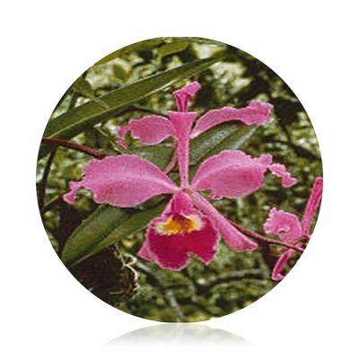 Amazon Orchid Essences